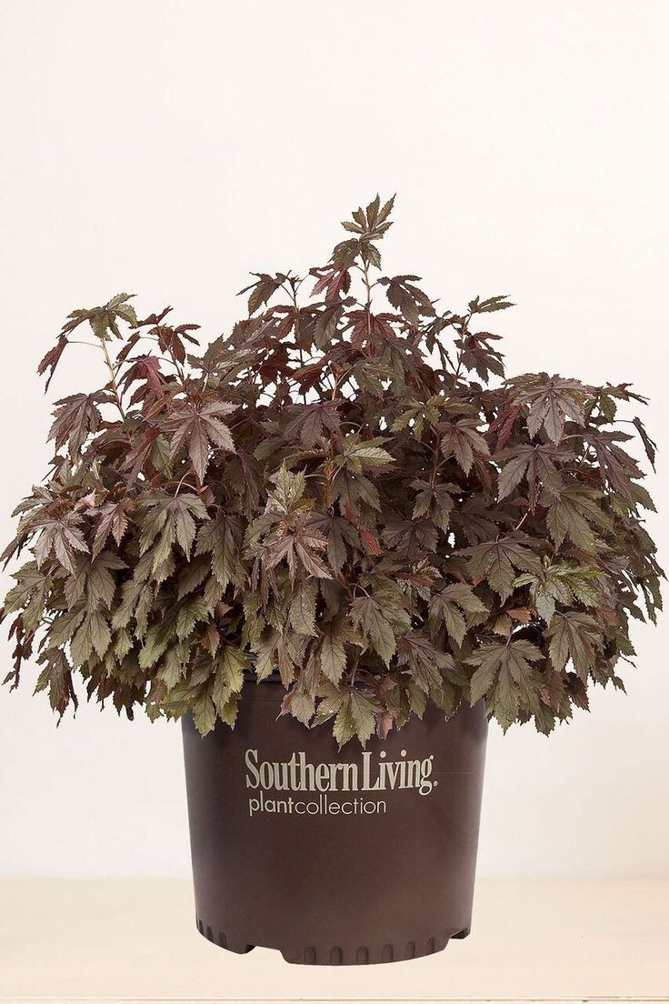 Southern Living Panama Red Hibiscus - 2 Gallon - 2 Gallon - 2 Gallon - 2 Gallon