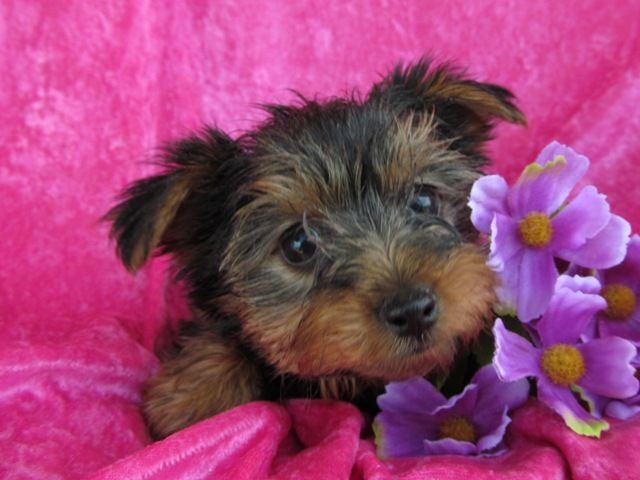 NOLIN RIVER PUPPIES | Yorkshire Terriers for sale in Kentucky | Ready for Summer