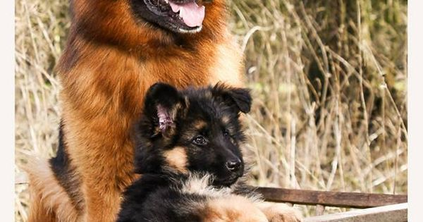 Dogspuppiesforsalecom liked | GSD & Puppy Getting a dog or a puppy as a new addition to your family is an excellent decision! You're adding another member that can provide lots of love and enjoyment! This is a relationship you'd want to make sure that you're doing right the first time around. You'll need to find out what makes your dog happy what are the things to look out for and basically how to give them a long and fulfilling life. This is what dogs puppies for sale is for.