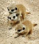 Interactions with habituated meerkats