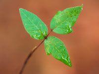 Poison Ivy Quiz: Don't Scratch That! -- aarp.com