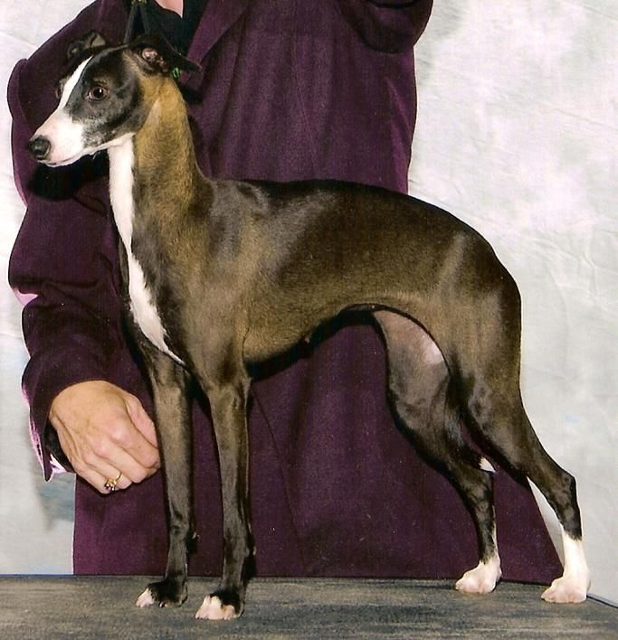Italian Greyhound Female Puppies For Sale Maine Puppy