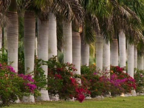 Row of Stately Cuban Royal Palms, Bougainvilleas Flowers, Miami, Florida,