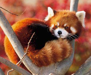 Panda rojo 1.png