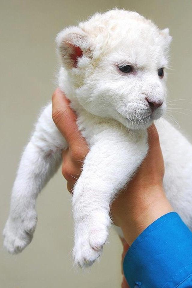 Albino tiger   Adorabl...