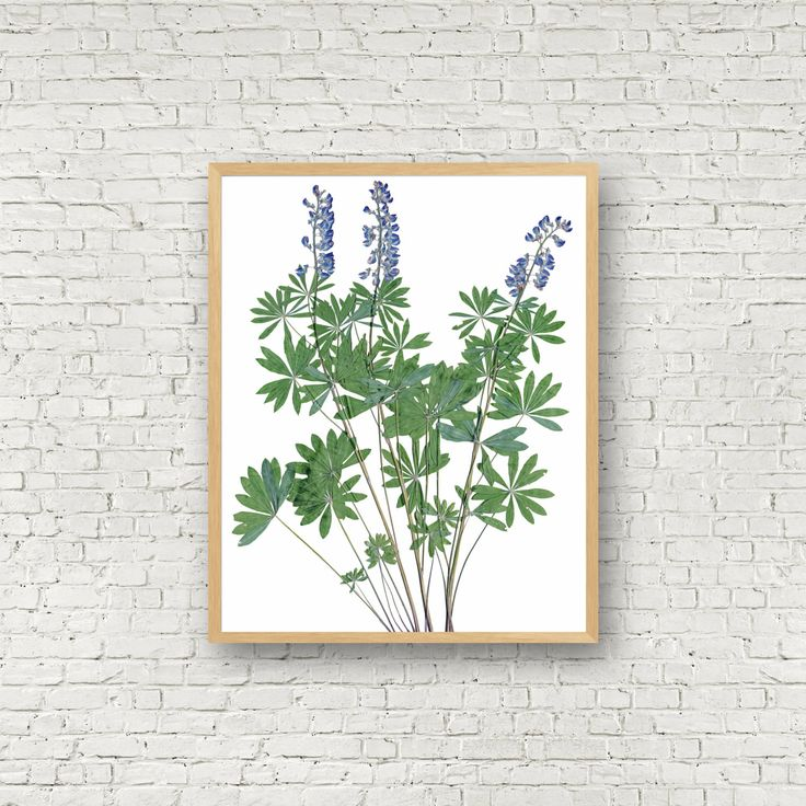 Kitchen Herbarium Art: 8 Best Herbarium Specimens Images On Pinterest