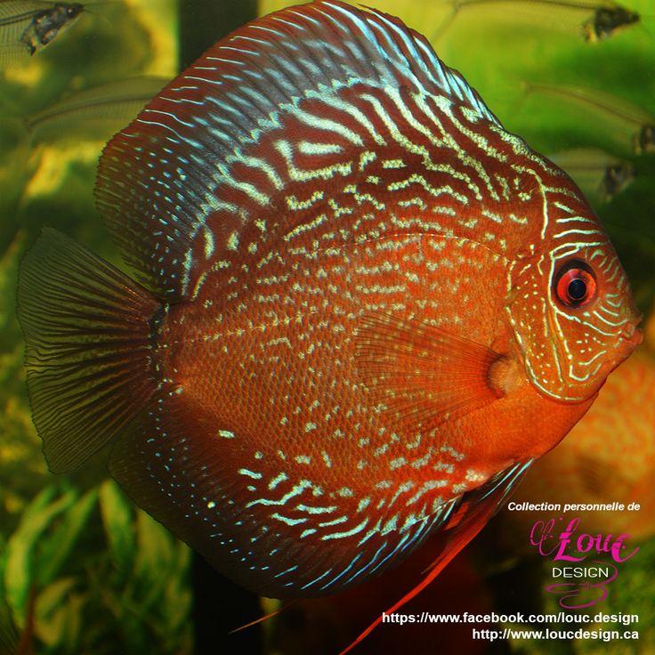 1477 best discus images on pinterest discus aquarium for Discus fish price