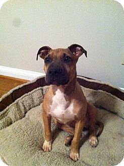 Dallas, GA - Pit Bull Terrier Mix. Meet Cleo, a dog for adoption. http://www.adoptapet.com/pet/14306187-dallas-georgia-pit-bull-terrier-mix