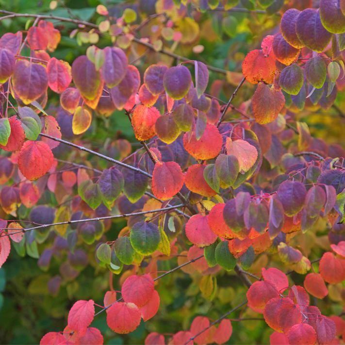 Cercidiphyllum japonicum-lebkuchenbaum-Plante