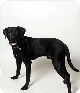 Columbus, OH Boxer Mix. Meet Ruffian, a dog for adoption