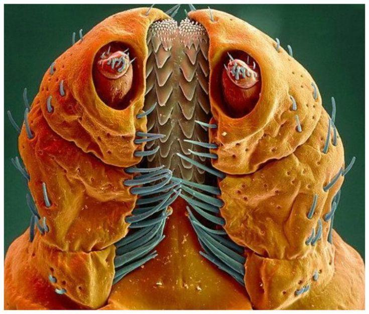 артисты личинка мухи фото под микроскопом вытягивать