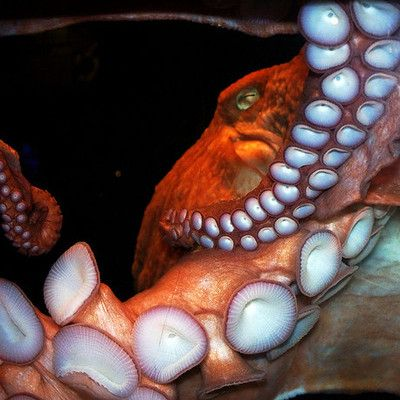 What color is octopus blood? blue! Both squids and octopuses have blue blood. They use an oxygen-carrying molecule in their blood called hemocyanin that contains copper. In cold conditions with low oxygen pressure, hemocyanin oxygen transportation is more efficient than hemoglobin oxygen transportation.