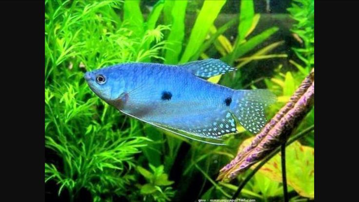 Blue gurami labyrinth fish longvissen pinterest blue for Labyrinth fish tank