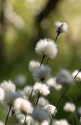 Scheiden-Wollgras (Eriophorum vaginatum). Cotton grass.