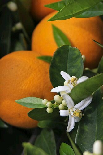Orange Blossoms - one of the best smells in the world