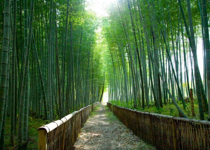 La forêt de bambou au Japon