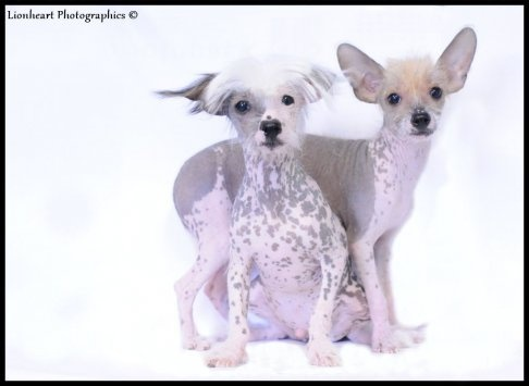 Chinese naakthonden  pups
