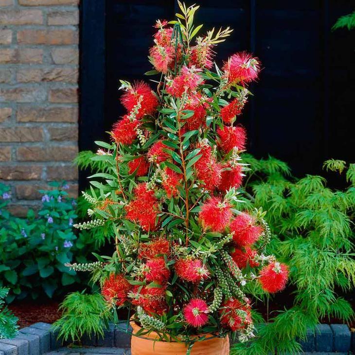 Каллистемон – красивое вечнозелёное растение, которое пользуется особой популярностью в комнатном цветоводстве. Биоэнергетики утверждают, что своим владельцам растение добавляет уверенности в себе. Ка...