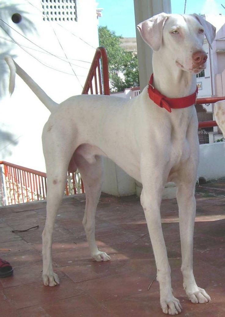 Great Dane Dog For Free Adoption In Chennai