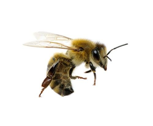 Without Honey Bee's .. we may cease to be??  ... Interesting read