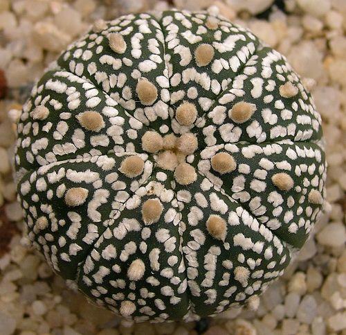 Â¿Conoces al Cactus estrella? Â¡Precioso!