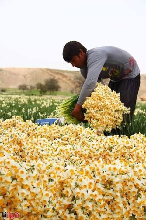 harvesting narcissus - Iran, Shiraz