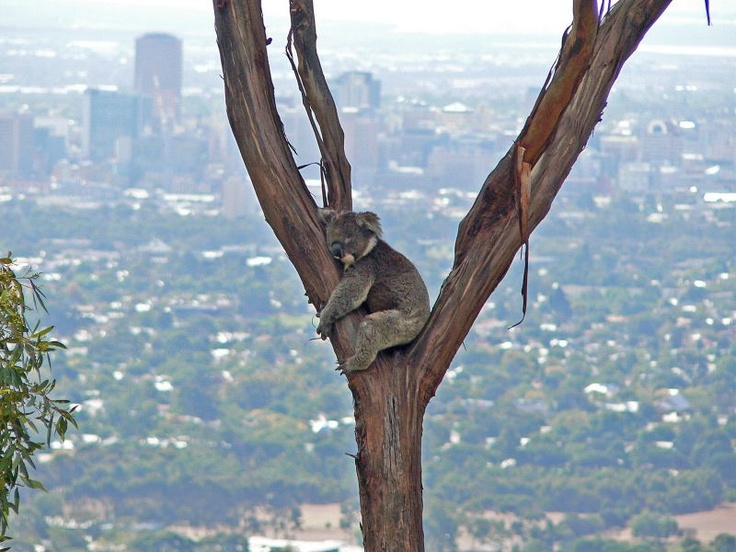 'Koala with Adelaide ( city ) in the Background' quoted by previous pinner • Adelaide's best