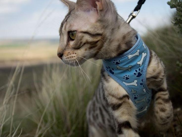 Die exotische Savannah-Katze: Mit bis zu 45 cm Schulterhöhe und 120 cm Maximallänge die größte Katze der Welt. — Bild: (CC) Flickr / will.wade    www.einfachtierisch.de