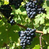 Is Grape Juice Healthier Than Wine?