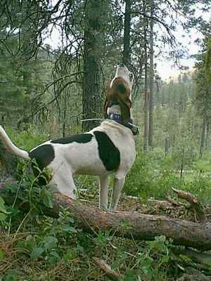 Walker hound, howling!  Something they do best!