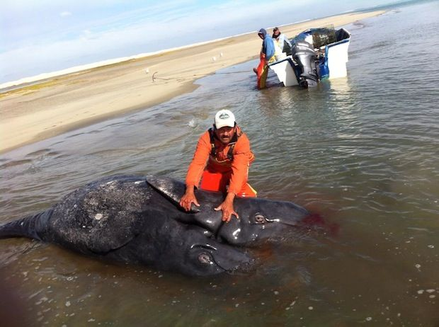 Conjoined gray whale calves discovered in Baja California lagoon; find could be a first | GrindTV.com