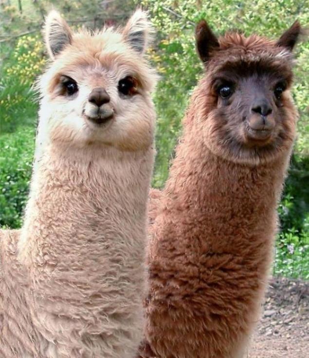 Ламы.  . Встречаются ламы, как с тонким эластичным волосом, так и с жестким, что требует отбора животных перед стрижкой или очёсом. Шерсть ламы состоит из двух слоёв: верхнего защитного волоса и подшерстка (пуха). Верхний волос толстый и не скручивается. Подшерсток мягкий и роскошный. Шерсть ламы  легкая и мягкая, отличается  хорошей теплоёмкостью и термостатичностью. Она не вызывает аллергических реакций, способна отталкивать воду,  регулирует  влажность  тела.