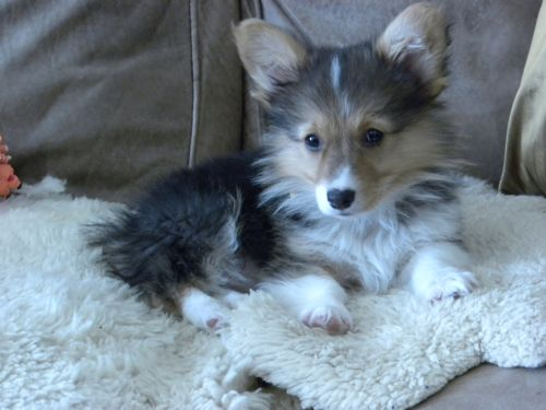 Corgi And Lassie Dog Mix Dont Mind If I Do Aminals Id Like To
