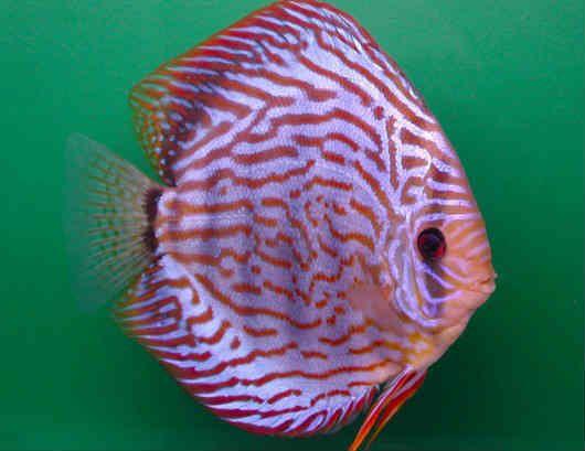 DICAS PARA CRIAR PEIXES ORNAMENTAIS são extremamente importantes para o futuro criador de peixes começar a montar o seu aquário do jeito certo e adequado.