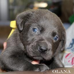 Silver Labrador Breeders | Charcoal Labrador Breeders