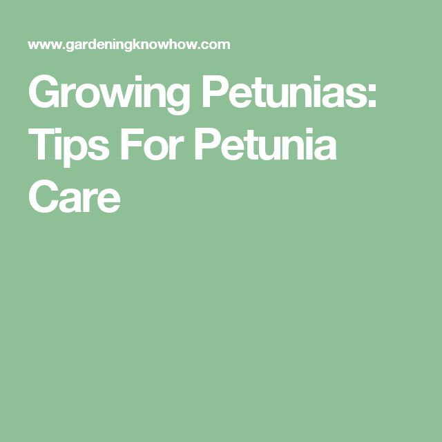 Growing Petunias: Tips For Petunia Care                                                                                                                                                                                 More