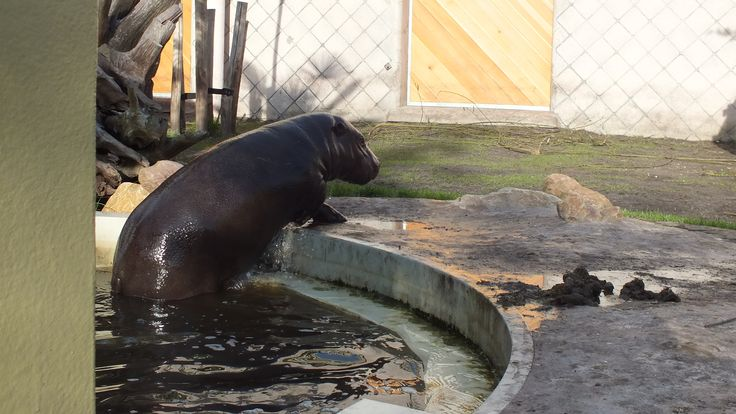 Mini nijlpaardje, heeft gezwommen.