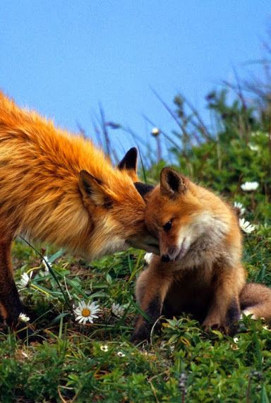 Little Fox with Mama