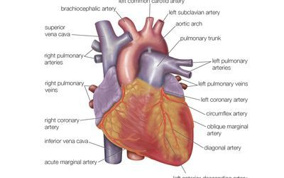 What Are the Functions of the Coronary Arteries?   Heart ...