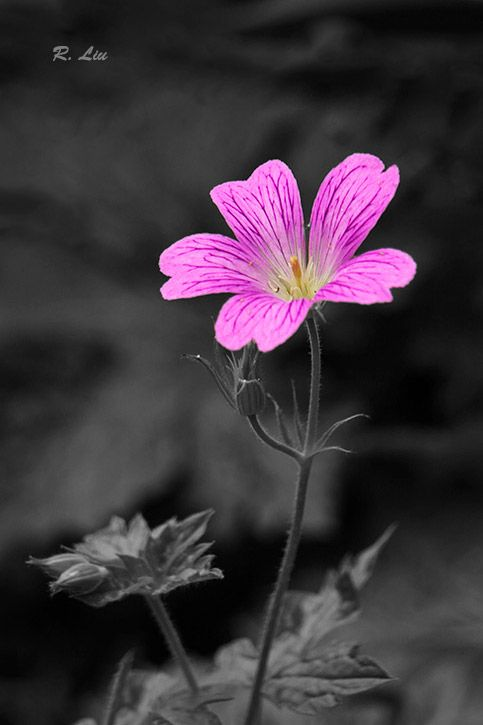 Pink red flower, black and white with splash of colors.  Photo taken and made by Audrey Liu.