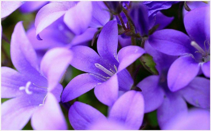 Purple Flowers Blooming HD Wallpaper | purple flowers blooming hd wallpaper 1080p, purple flowers blooming hd wallpaper desktop, purple flowers blooming hd wallpaper hd, purple flowers blooming hd wallpaper iphone