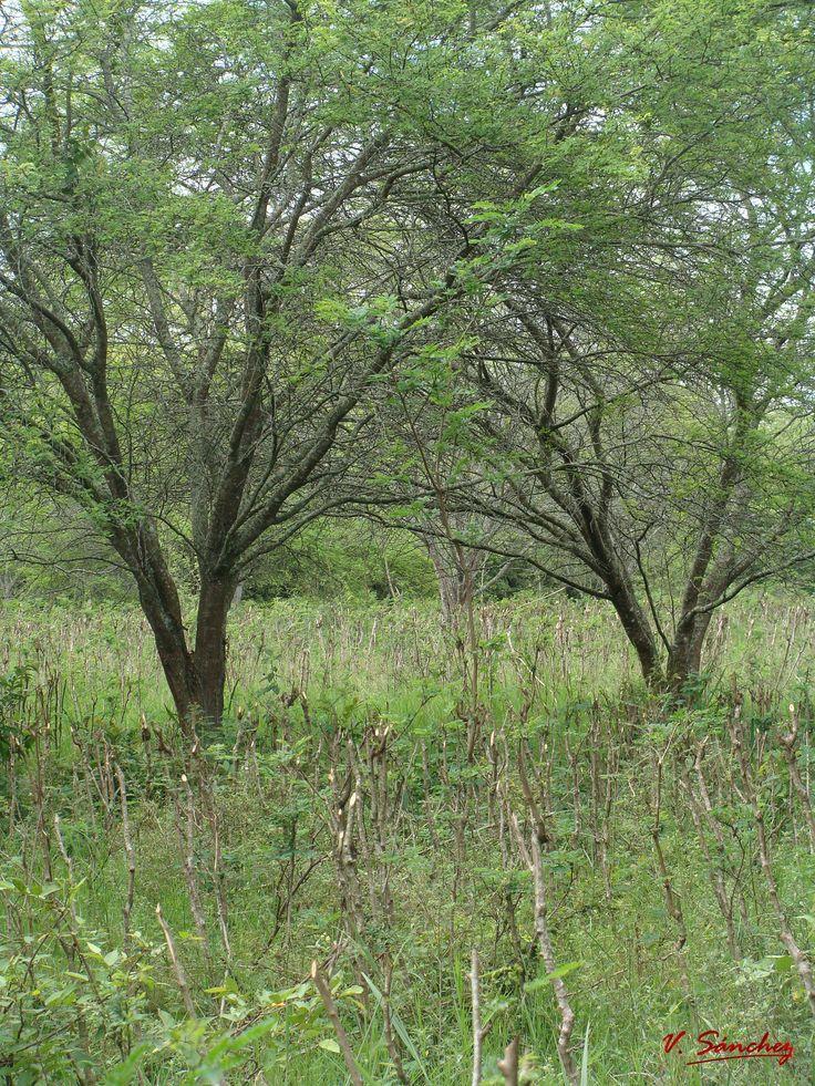 Prosopis juliflora  +  Leucaena leucocephala. vladimirsanchez@unillanos.edu.co