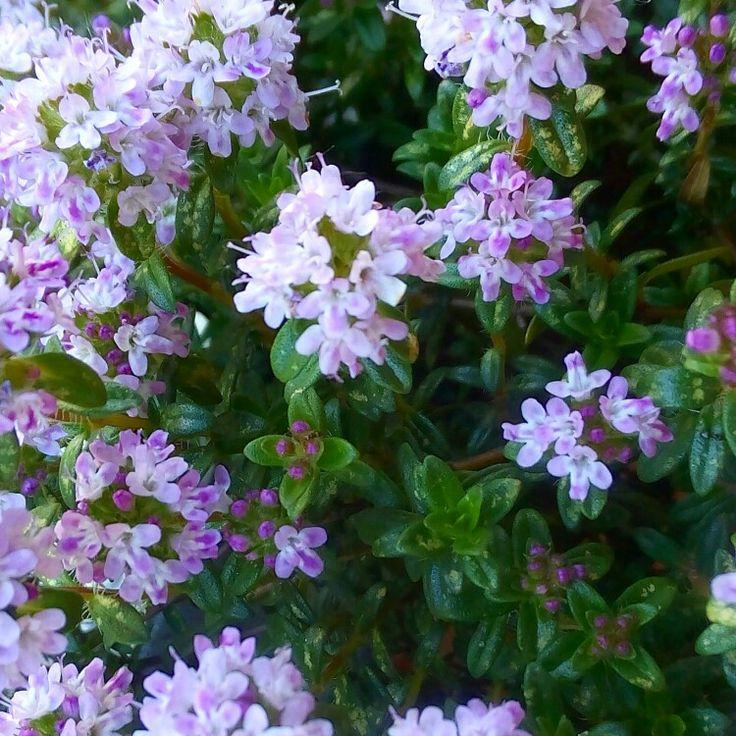Fiori di timo 🌿🌿🌿🌿🌿🌿🌿🌿🌿🌿🌿🌿🌿🌿🌿🌿 Iltimoè una pianta utile controasma, raffreddore e mal di testa, usata anche come rimedio naturale perpelli stanche e capelli grassi. Riassumendo il #timo è buono. Fatevi di timo 🌿🌿🌿🌿🌿🌿🍀🍀🍀🍀🌱🌱🌱🌱🌱🌱🌱🌱🌱🌱🌱🌱🌱🌱 . . #thyme #love #flowers #blossom #fiori #nature #naturelovers #erbearomatiche #green #verde #ilovenature #ortosulbalcone #food #herbs #aromatic #garden #gardening #spring #primavera #april #aprile #natura #fioritura…
