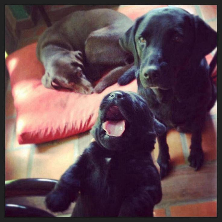 New Family- labradora negra Ushuaia