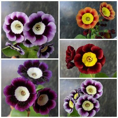 Die besten 25+ Aurikel Ideen auf Pinterest einzigartige Blumen - mein schoner garten zeitschrift