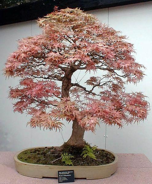 "Bonsai ""Roter Fächerahorn"" (Maple)"