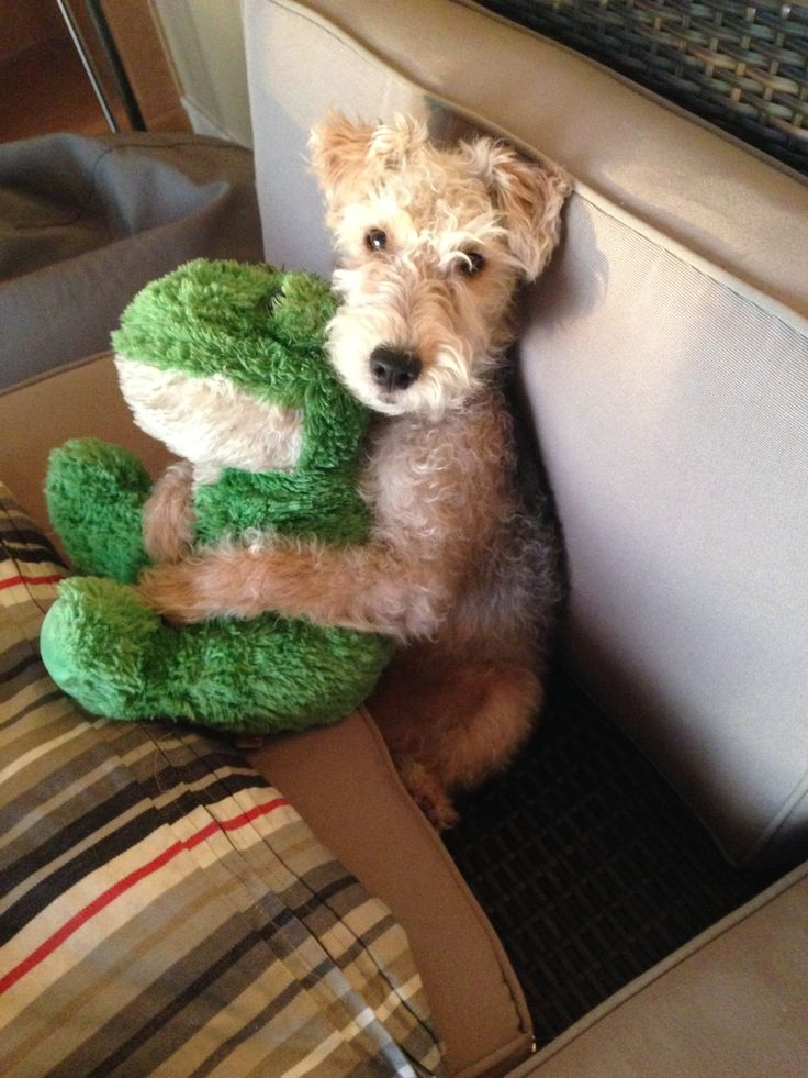 Lakeland terrier and his stuffie...mine!!! Order an oil painting of your pet now at www.petsinportrait.com