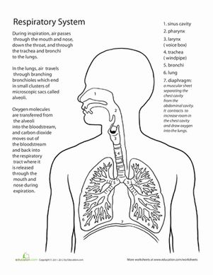 Middle School Life Science Worksheets: Inside-Out Anatomy: The Respiratory System Worksheet