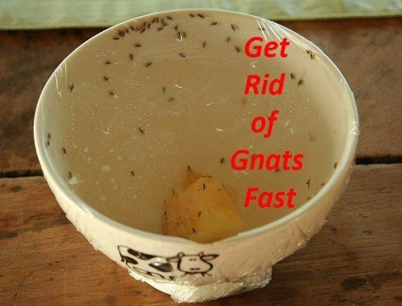 How To Get Rid Of Gnats Homepestcontrolplants Pest