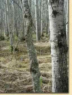 How to find Diamond Willow sticks